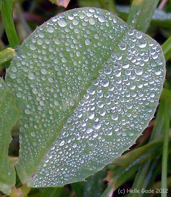 ~ Morning Dew on Cloverleaf ~