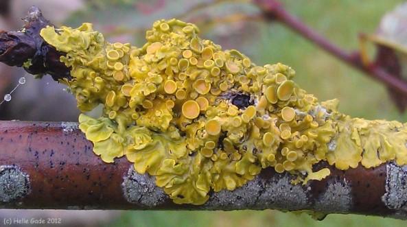 ~ Lichen ~