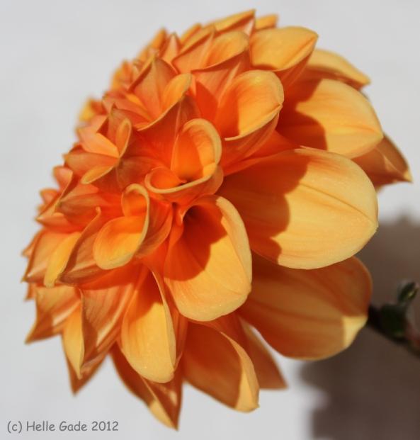 ~ Orange Dahlia ~