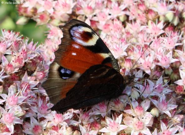 Aglais Io Butterfly