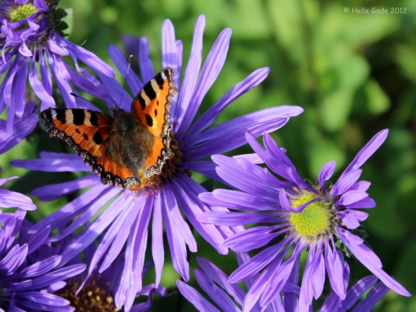 Aglais Urticae Butterfly